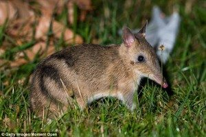 Photo of barred bandicoot from DailyMail.UK