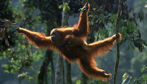 orangutan_257637_1_408099